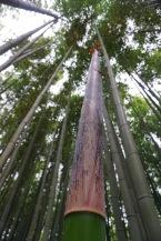 a bamboo growth spurt.